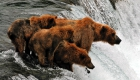 09 Spring grizzly sow and cubs